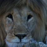 Leão Serengeti
